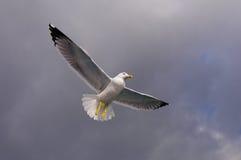 Gaviota en el cielo. Imagen de archivo libre de regalías