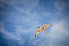 Gaviota en el cielo azul Fotos de archivo