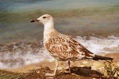 Gaviota en el fondo de la marea en el día soleado Imagen de archivo libre de regalías