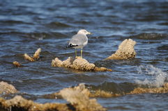 Gaviota en el mar California de Salton Fotos de archivo