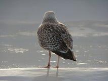 Gaviota en el mar de Wadden fotos de archivo libres de regalías