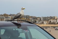Gaviota en el tejado del coche fotos de archivo