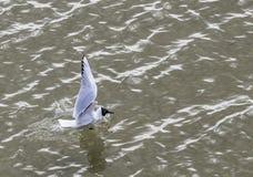 Gaviota en el vuelo y la natación de la costa Foto de archivo