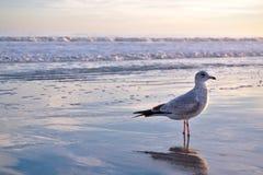 Gaviota en línea de la playa de la playa Fotografía de archivo libre de regalías