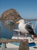 Gaviota en la bahía de Morro imagen de archivo libre de regalías