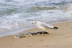 Gaviota en la costa de Michigan de lago Imagen de archivo libre de regalías