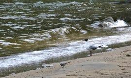 Gaviota en la orilla del lago Imagenes de archivo