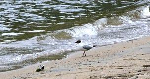 Gaviota en la orilla del lago Fotografía de archivo libre de regalías