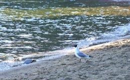 Gaviota en la orilla del lago Foto de archivo libre de regalías