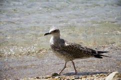 Gaviota en la playa Fotografía de archivo libre de regalías