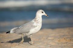 Gaviota en la playa Fotos de archivo libres de regalías