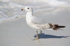 Gaviota en la playa con las ondas Imágenes de archivo libres de regalías