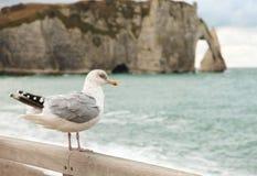 Gaviota en la playa de Etretat Imágenes de archivo libres de regalías