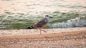 Gaviota en la playa El pájaro camina en la arena con una pierna para arriba Foto de archivo