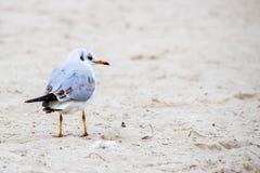 Gaviota en la playa que mira al lado derecho Foto de archivo