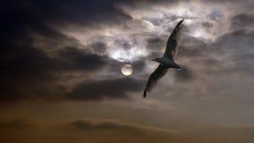 Gaviota en la puesta del sol Foto de archivo
