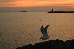 Gaviota en la puesta del sol Fotografía de archivo libre de regalías