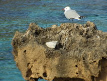 Gaviota en la roca Imagen de archivo libre de regalías