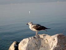 Gaviota en la roca Foto de archivo libre de regalías