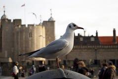 Gaviota en la torre de Londres, Inglaterra Imagen de archivo