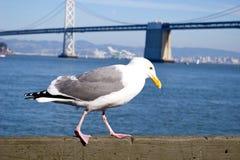 Gaviota en San Francisco Bay Foto de archivo libre de regalías