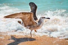 Gaviota en una orilla de mar arenosa Fotografía de archivo