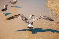 Gaviota en una orilla de mar arenosa Fotos de archivo libres de regalías