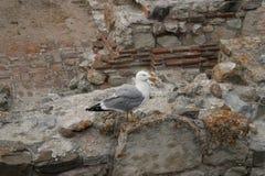 Gaviota en una pared de piedra Fotografía de archivo libre de regalías