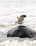 Gaviota en una piedra en el mar fotografía de archivo