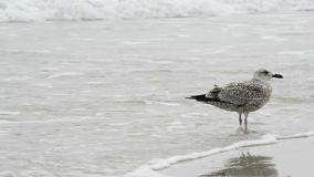 Gaviota en una playa del mar Báltico almacen de video