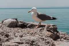 Gaviota en una roca Fotografía de archivo libre de regalías