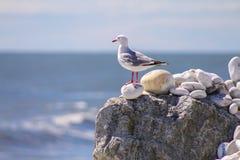 Gaviota en una roca con el mensaje que pone a OM una playa en Bruce Bay fotografía de archivo