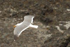 Gaviota en vuelo Imagenes de archivo