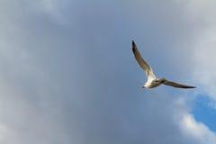 Gaviota en vuelo Imagen de archivo libre de regalías
