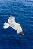 Gaviota en vuelo Imágenes de archivo libres de regalías