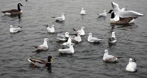 Gaviota en vuelo en el lago Fotos de archivo