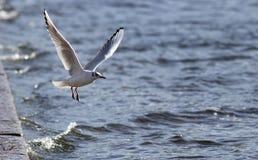 Gaviota en vuelo sobre el agua Fotos de archivo libres de regalías