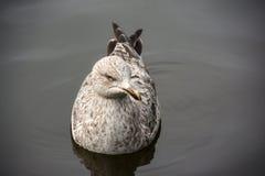 Gaviota europea con las plumas marrones y blancas Foto de archivo libre de regalías