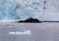 Gaviota glauca, hyperboreus del Larus, sentándose en un pequeño iceberg delante de un glaciar en Svalbard, Noruega imagen de archivo libre de regalías
