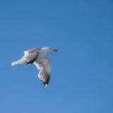 gaviota Glauco-coa alas Imagen de archivo libre de regalías