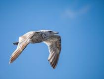 gaviota Glauco-coa alas Fotografía de archivo libre de regalías