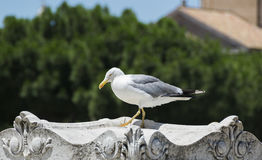 Gaviota grande en Roma Fotos de archivo