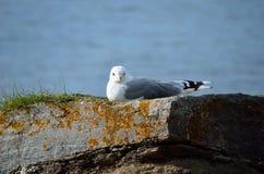 Gaviota hermosa que descansa sobre el canto rodado de la costa en sol que se calienta Fotografía de archivo libre de regalías
