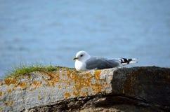 Gaviota hermosa que descansa sobre el canto rodado de la costa en sol que se calienta Foto de archivo libre de regalías