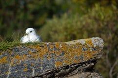 Gaviota hermosa que descansa sobre el canto rodado de la costa en sol que se calienta Foto de archivo