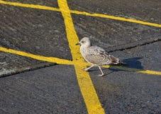 Gaviota joven provisional que camina en líneas amarillas Imagen de archivo libre de regalías
