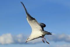 Gaviota mediterránea que vuela Imágenes de archivo libres de regalías