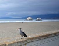 Gaviota occidental en la playa del océano de San Francisco Imagen de archivo libre de regalías