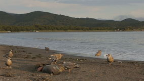Gaviota pacífica que come el sello muerto en el vídeo de la cantidad de la acción de la playa almacen de video