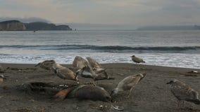 Gaviota pacífica que come el sello muerto en la playa almacen de video